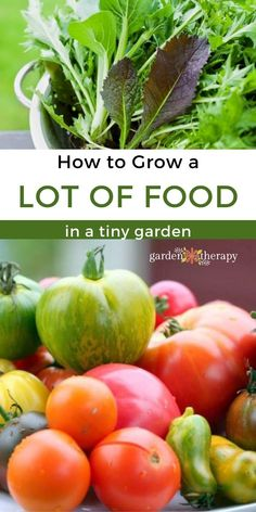 When you don't have lots of space, you can still grow quite a bit of food. Here are my best small space gardening tips for the biggest yield possible. #gardentherapy #beans #lettuce #peas #smallspacegarden #tomato #vegetablegarden Small Space Gardening, Garden Spaces, Gardening Tips, Growing Vegetables, Household Tips, Garden Projects, Lettuce, Vegetable Garden, Small Spaces