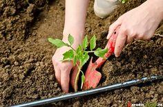 Cum împiedicăm viespile să vandalizeze via și livada Paradis, Asparagus, Vegetables, Green, Plant, Vegetable Recipes
