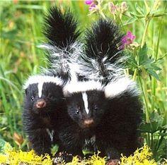 Baby skunks.