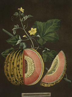 "'Cantaloupes' by English painter and illustrator George Brookshaw from his ""Pomona Britannica: A Collection of the Most Esteemed Fruits at Present Cultivated in This Country"" (via still life quick heart) Vintage Botanical Prints, Botanical Drawings, Antique Prints, Botanical Art, Vintage Prints, Antique Plates, Science Illustration, Fruit Illustration, Botanical Illustration"