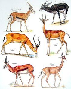 Thomson's Gazelle, Male Impala, Black Buck, Springbok, etc. Vintage 1984 Animal Book Plate