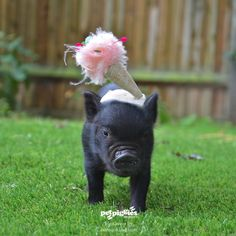 Baby Micro Pig At Petpiggies Pictured With Headwear By Awon Golding. www.petpiggies.co.uk www.awongolding.com