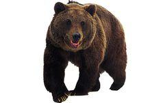 bears unit study