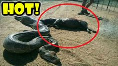 Giant Anaconda Eat Hippo ❖ Most Amazing Wild Animals Attacks #58 ❖ Anima...