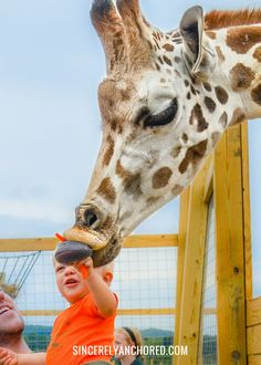 Animal Adventure: An Interview with APRIL THE GIRAFFE'S caretaker | www.sincerelyanchored.com