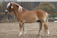 Gotland Pony - stallion Juter KL