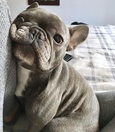 why u so obsessed w/ me? The french bul-why u so obsessed w/ me? The french bulldog why u so obsessed w/ me? The french bulldog - Cute French Bulldog, French Bulldog Puppies, Cute Dogs And Puppies, French Bulldogs, Doggies, Pet Dogs, Cute Baby Animals, Animals And Pets, Funny Animals