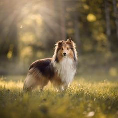 Cute Puppies, Cute Dogs, Dogs And Puppies, Animals And Pets, Cute Animals, Isle Of Dogs, Dog Eyes, Shetland Sheepdog, Smiling Dogs