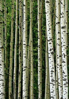 Love silver birch trees ♡