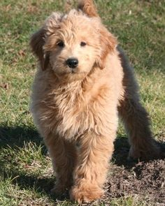 Miniature Goldendoodle, so cute Chien Goldendoodle, Goldendoodle Miniature, Mini Goldendoodle Puppies, Cute Puppies, Cute Dogs, Dogs And Puppies, Doggies, Cute Creatures, I Love Dogs