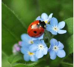 Different types of ladybugs including their classification and species. Asian beetle and other ladybug look alike. Clusia, Free Pictures, Free Photos, Free Images, Lady Bug, Bugs And Insects, Garden Insects, Flying Insects, Forget Me Not