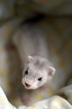 She said she wants a ferret like this one day.
