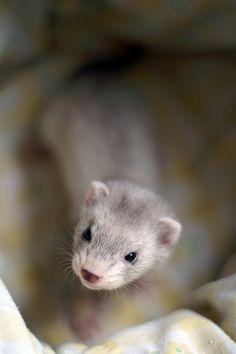 Ohhhh mahhhhh gawdddd, like at this incredibly precious baby ferret! #ferret #pets #animal #cute #baby #cute