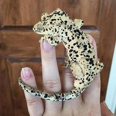 Dalmatian Crested Gecko (Repost from Les Reptiles, Cute Reptiles, Reptiles And Amphibians, Reptile Room, Reptile Cage, Reptile Enclosure, Reptile Pets, Crested Gecko Vivarium, Gecko Terrarium