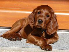 Irish Setter Pup ~ Classic Look & Trim