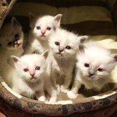 My guys!!! #minivaniljer #minivaniljerna2016 #birma #birman #breeder #catsofinstagram #chokladochvanilj #kitten #pinkalicious #welovecats #we_love_cats