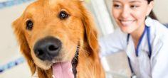 Vacinas e Calendário de Vacinação canina. Quais vacinas meu cachorro precisa tomar? E se ele nunca foi vacinado? Quando são essas vacinas? Saiba mais e veja o calendário de vacinação para o seu cachorro.