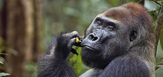 Rare and Intimate Photos of a Gorilla Family in the Wild  Two photographers ventured deep into the forests of central Africa to capture touching photos of a 33-year-old wild silverback and his clan
