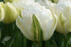 Double Late Tulip 'Double Maureen'