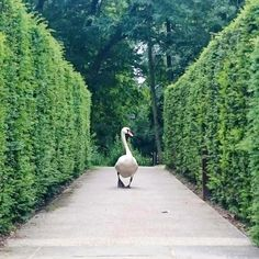 Our little friend is strutting around Coworth Park and welcoming our lovely…