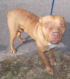 MIKEY (A1676251) I am a male brown and white Pit Bull Terrier. The shelter staff think I am about 2 years old. I was found as a stray and I may be available for adoption on 02/04/2015. — hier: Miami Dade County Animal Services. https://www.facebook.com/urgentdogsofmiami/photos/pb.191859757515102.-2207520000.1422746232./919243848110019/?type=3&theater