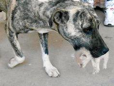 Quem diria? Cadela mestiça de pit bull e fila adota filhotes de gato no interior de São Paulo