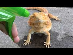 October 2nd 2015: : yes this is my lizard her name;s poncho!