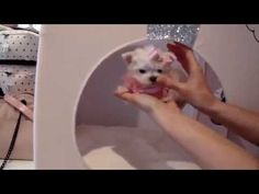 Teacup Puppies for sale - TeacupPuppiesStor. , Buy Teacup Puppies, Teacup Yorkies For Sale and Dog Boutique Teacup Maltese For Sale, Yorkies For Sale, Cats That Dont Shed, Toxic Plants For Cats, Teacup Cats, Puppy Store, Angora Cats, Herding Cats, Dog Boutique