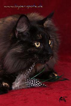 Norwegische Waldkatze  Norwegian Forest Cat NFO Black tortie  Just Catnap's Happy  www.bjoernpote.de