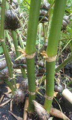 Muda Bambu