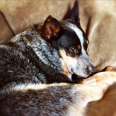 Lounging Cattle Dog