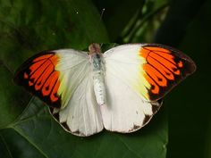 The largest White in Asia. This species is three times the size of our native species of Orange tip. In the wild, it is a fast flyer always on the move and rarely stopping to settle.
