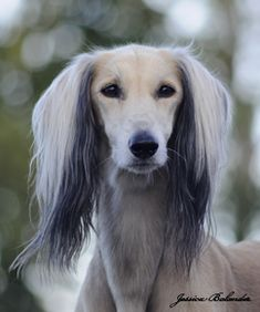 Saluki colours