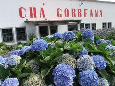 Fábrica de Chá #Gorreana que eu tive o Privilégio de visitar. historic #tea plantation in #azores