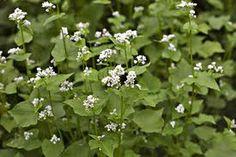 Buckwheat plant - Leg