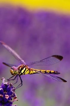 Dragonfly in a purple field