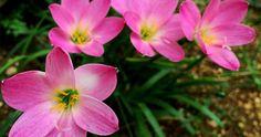 10 plantas bulbosas ideales para el jardín