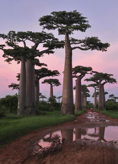 """Baobab trees are native to Madagascar (it's the country's national tree!), mainland Africa, and Australia. A cluster of """"the grandest of all"""" baobab trees (Adansonia grandidieri) can be found in the Baobab Avenue, near Morondava, in Madagascar. Places Around The World, Oh The Places You'll Go, Places To Travel, Places To Visit, Around The Worlds, Beautiful World, Beautiful Places, Beautiful Scenery, Foto Picture"""