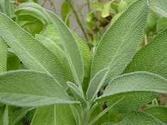 Sage | Healing Herbs And Spices To Grow In Your Garden
