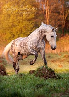 A dapple grey horse out for a run in the sunshine. Sunset or could be morning sun shining on the cool green grass and casting beautiful shadows across this horse's beautiful colored coat. Great equine photography.