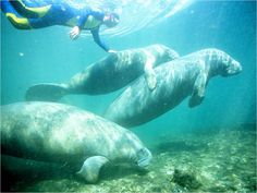 Swim with Manatees Crystal River, Florida Just 90 minutes from Orlando and Tampa, this is the only place you can swim with manatees in the wild. Winter is the best time to see them, though they hang there all year long.