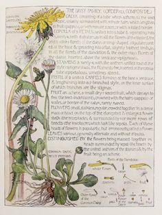 1910 Botanical Print by H. Isabel Adams: Daisy por PaperPopinjay