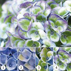 Magical Hydrangea Revolution blue. Met de stadia van kleur verloop per seizoen .