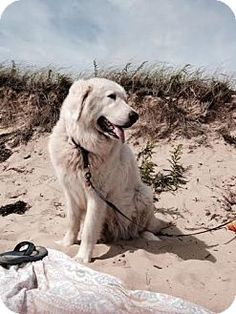 10/1/14 Lee, MA - Great Pyrenees. Meet Pavo - Courtesy Posting, a dog for adoption. http://www.adoptapet.com/pet/11667301-lee-massachusetts-great-pyrenees