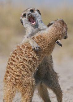Meerkats Playing, Makgadikgadi Pan, Botswana by Sean Crane