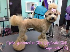 groomed at The UpScale Tail, Naperville, IL www.theupscaletail.com
