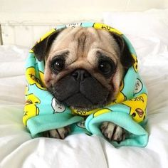 Outstanding pug detail is offered on our website. Check it out and you wont be s… Outstanding pug detail is offered on our website. Check it out and you wont be sorry you did. Cute Funny Animals, Cute Baby Animals, Animals And Pets, Animals Images, Wild Animals, Pug Puppies, Cute Dogs And Puppies, Dogs Pitbull, Doggies