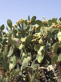 http://figue-de-barbarie.blogspot.com/ La figue de barbarie est un fruit aux vertus incroyables et a l'effet efficace sur la peau. Découvrez les produits a base de figue de barbarie chez viveo.