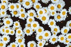 Overhead shot of chamomile daisy flower field , Cute Laptop Wallpaper, Wallpaper Für Desktop, Wallpaper Notebook, Aesthetic Desktop Wallpaper, Macbook Wallpaper, Computer Wallpaper, Flower Wallpaper, Wallpaper For Pc, Glitter Wallpaper