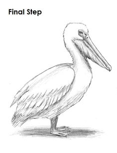 Pelican Drawing Last